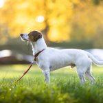Hundetrainer Dresden Nancy Wendler-Jack Russel hört aufmerksam zu.