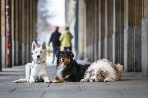 Hundetrainer Dresden, Welpenschule Dresden