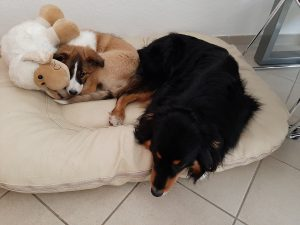 Welpe Hundeschule Dresden